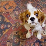 Cavalier King Charles, Hilly.