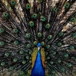 """...The peacock spreads his fan."" Leonard Cohen."