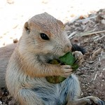 Black tailed prairie dog.
