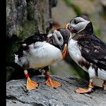Atlantic Puffin.